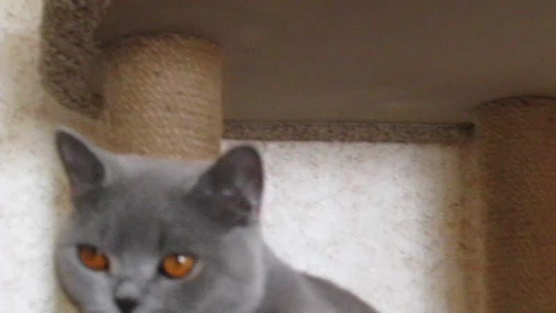 Британская кошка  Кася - молодая производительница питомника