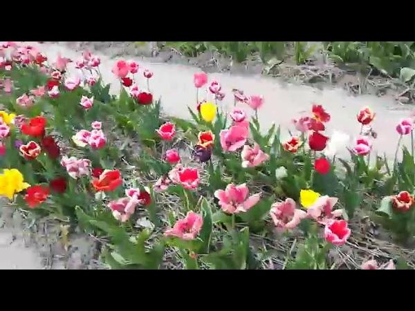 Comprando tulipanes, con Virgita Villalobos