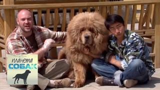 Тибетский мастиф. Планета собак 🌏 Моя Планета
