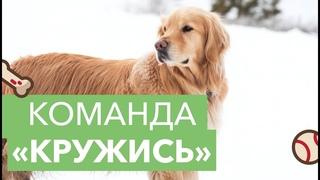 Как научить собаку крутиться вокруг себя? Голосовые команды при дрессировке. Команда  «Кружись»