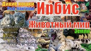 Животный мир земли. Дикие кошки. Род пантеры. Ирбис (snow leopard)