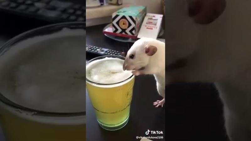 Крыса алкоголичка