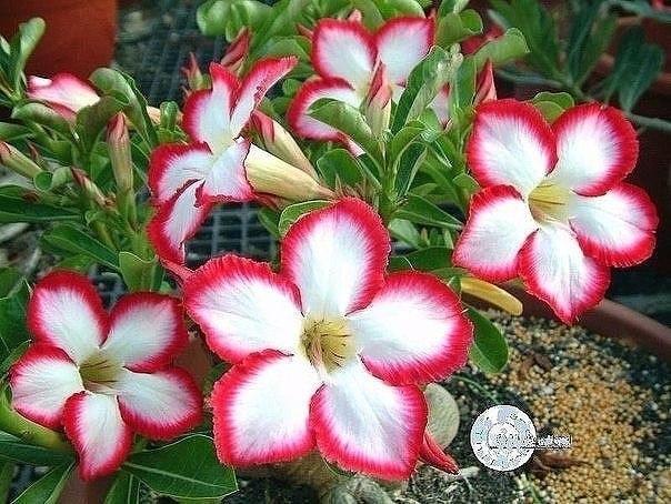 подкормки для цветов, что бы росли, как на дрожжах. оказывается, цветы могут расти как на дрожжах и для этого всего навсего вам следует сделать подкормки для них. а вот как их делать, всё в