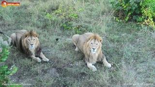 Дай дилетанту львов кормить - драки неизбежны! Тайган. Lions life in Taigan.