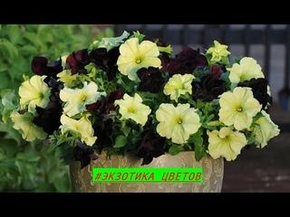 ВЫРАЩИВАНИЕ ПЕТУНИИ #петуния #семена #цветы #экзотика_цветов