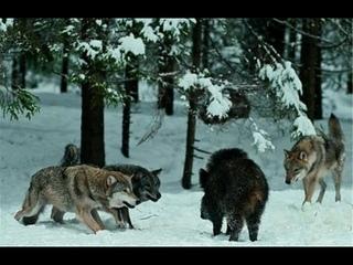 Дикий Кабан против Стаи Волков , КАБАН В ДЕЛЕ! Ярость и мощь дикого зверя!