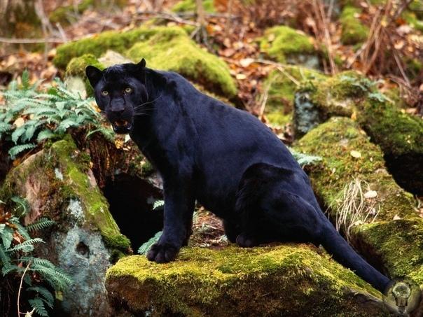 Черная пантера  мифы и реальность