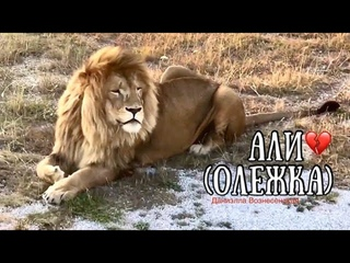 ❤️Лев Али, тебе сегодня ПЯТЬ лет 💔... Прости... 💔Тайган. Life of lions. Taigan.