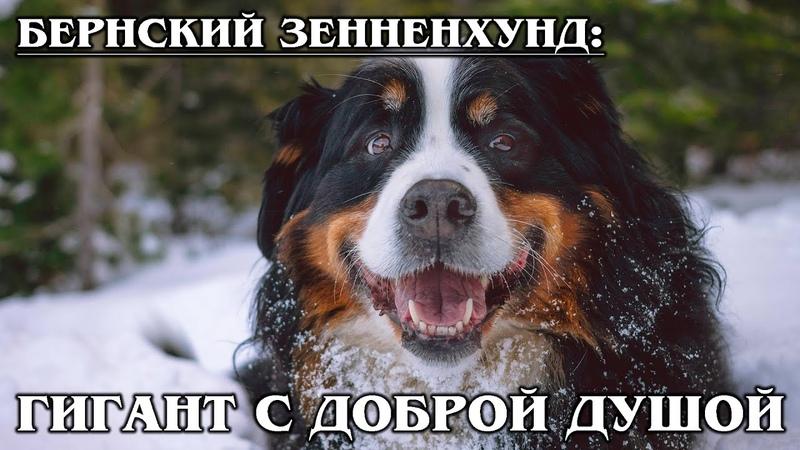 БЕРНСКИЙ ЗЕННЕНХУНД Собака пастух с самой добродушной улыбкой на свете