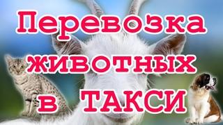 Перевозка домашних животных в Яндекс PRO Ситимобил и в других агрегаторах