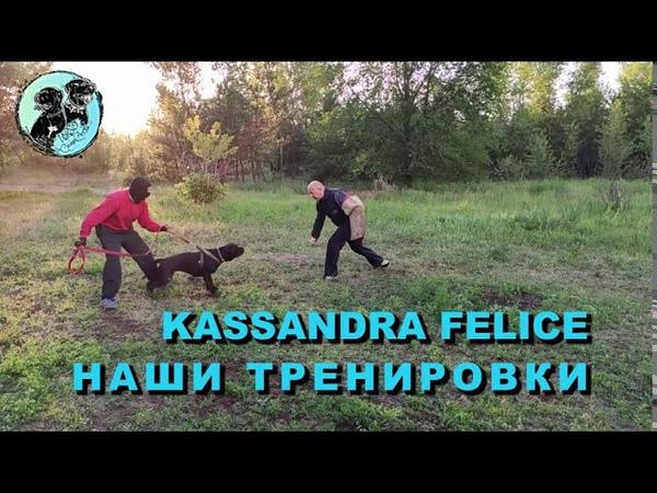 Cane Corso KASSANDRA FELICE отработка навыков