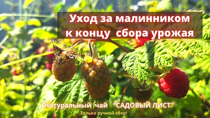 Как ухаживать за малинником во время сбора урожая