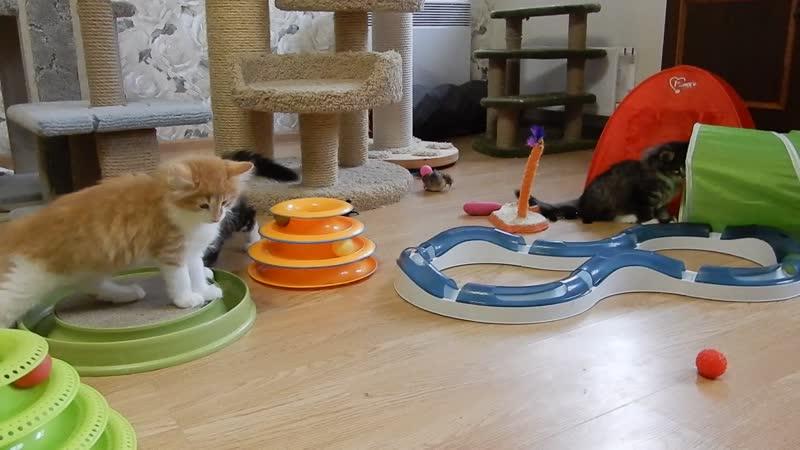 ❣Питомник Норвежской лесной кошки Wes Bure 🍀🍀🍀 Часть 2 СПб https://vk.com/wesbure