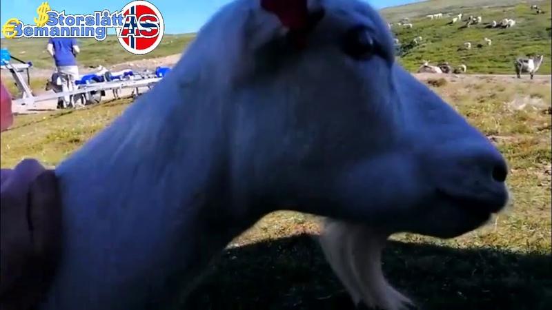 Требуются работницы для изготовления коричневого сыра из козьего молока Норвегия