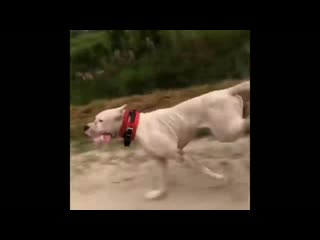 Dogo argentino best moments 2019.mp4