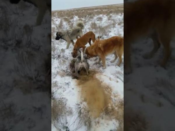 Собаки рвали лису на часты