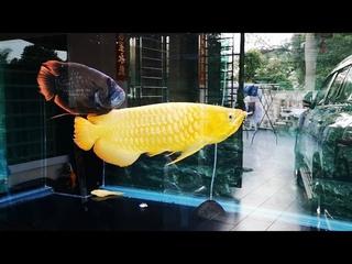 Happiest Gold Arowana and Red Tail Giant Gourami - True Friendship Ever