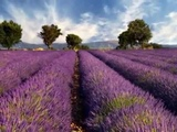 Lavender Fields and Moonlight Sonata Beethoven