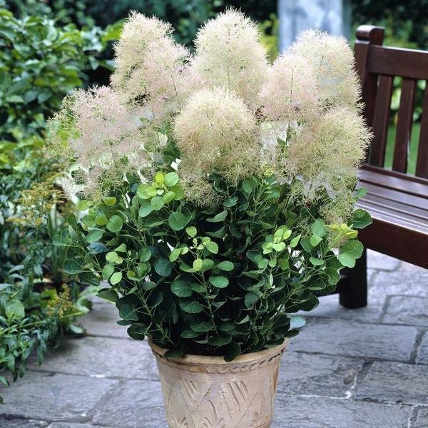 скумпия – очень оригинальное растение. во время цветения париковое дерево выглядит как легкое облако, что делает растение очень привлекательным. скумпии высаживают небольшими группами на газоне