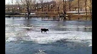 В Башкирии корова оказалась на льдине во время ледохода. Смотреть до конца.