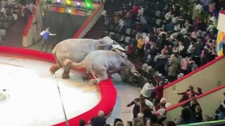 В Татарстане Следственный комитет начал проверку по факту драки слонов в казанском цирке.