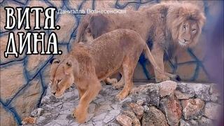 Львы ВИТЯ и ДИНА  (Презент: часть3. После трапезы нужен отдых) Life of #lions #animals