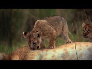 Африканские кошки: Королевство смелости / African Cats