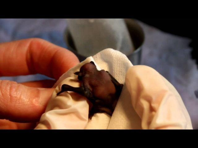 Tiny Orphaned Baby Bat Being Hand Fed