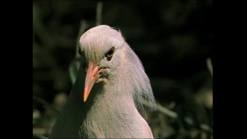 BBC Жизнь птиц The Life of Birds 06 Сигналы и песни 1998