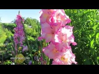 Гладиолусы в моем саду 2015