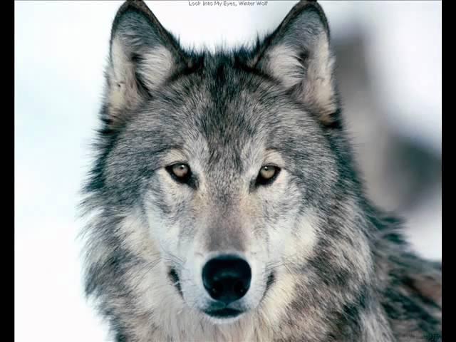 у тянет песню волк в лесу wmv