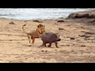 Baby Hippo Protects Mother From Lion