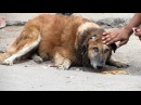 Rescue of an old street dog whose ear was torn to shreds – beautiful recovery