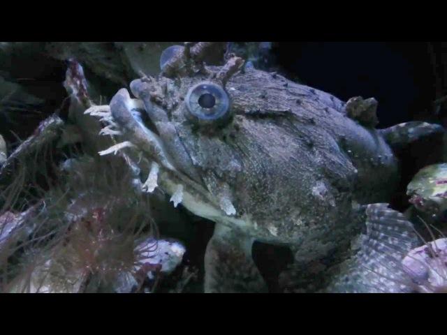 Gulf Toadfish - Opsanus beta