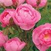 розы и сад