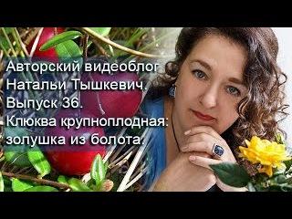 Авторский видеоблог Натальи Тышкевич. Выпуск 36. Клюква крупноплодная: золушка и ...