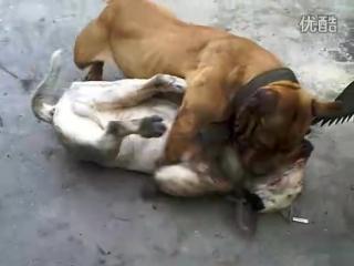 Бультерьер Vs Питбуль (Fighting Dogs) Собачьи бои: Bull terrier против Pitbull