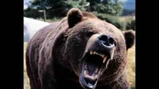 Russian bear. funny video. русские медведи якутии