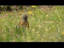 Eyebrowed thrush / Оливковый дрозд / Turdus obscurus