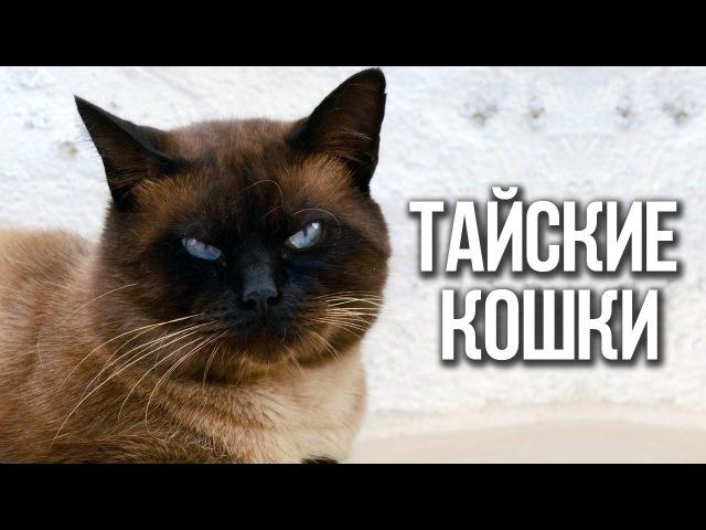 ✔ТАЙСКИЕ КОШКИ. Чем отличается ТАЙСКАЯ порода кошек от сиамской