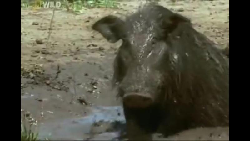Африканский рай лесных свиней Hidden Worlds II Africa's Hog Heaven