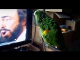 Попугай копирует Лучано Паваротти! )
