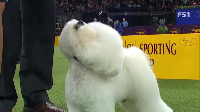 Flynn the Bichon Frise wins the Non Sporting Group _ WESTMINSTER DOG SHOW (2018) _ FOX SPORTS