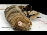 Mom Cat talking to her Cute Meowing Kittens _ Generation P