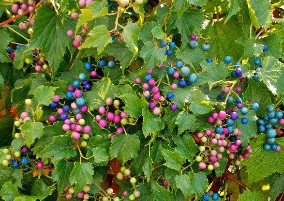 виноградовник виноградовник или ампелопсис часто небольшая, но очень эффектная листопадная деревянистая лиана, отличающаяся необыкновенно ажурными, глубоко-рассеченными зелеными листьями.
