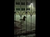 Лиса зашла в Сургут