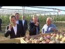 Путин и Медведев участвуют в сборе яблок на Ставрополье