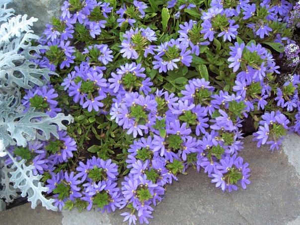 сцевола приятная сцевола приятная - многолетнее растение, выращиваемое как однолетнее. полностью оправдывает свое название – ее ниспадающие побеги густо покрыты непрерывно распускающимися