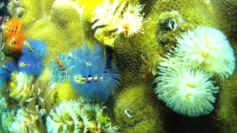 Spirobranchus giganteus (Рождественский червь дерево) на небольшие полипы жестких кораллов Porites
