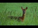 Загонная охота на кабана, косулю, лося осенью в Беларусии